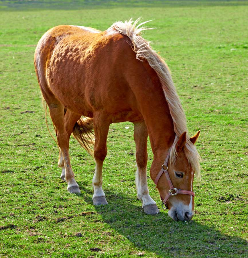 Photo of horse grazing with equine PPID.