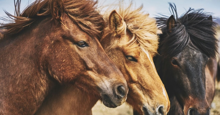 Photo of three horses representative of equine news.