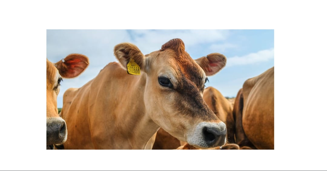 Photo of cow representative of cattle disease.
