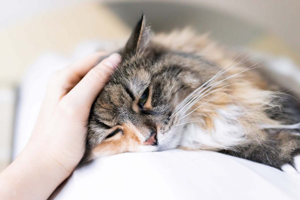 Photo of sedate cat being petted