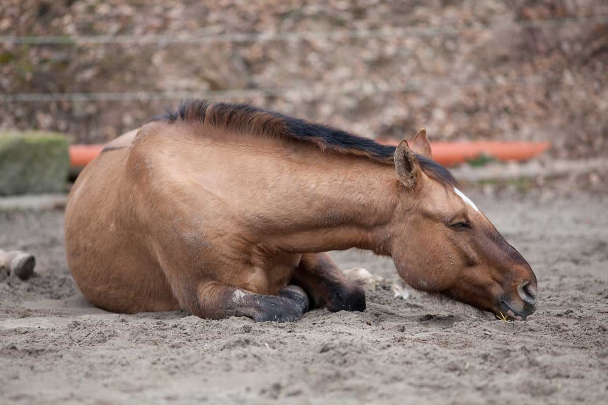 Photo of a horse lying on the ground representative of EIA awareness