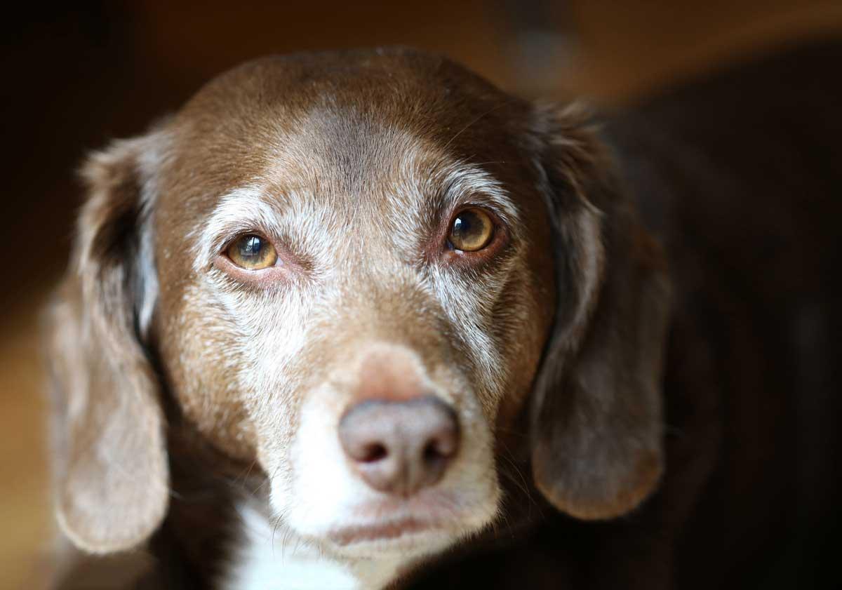 Photo of a senior dog