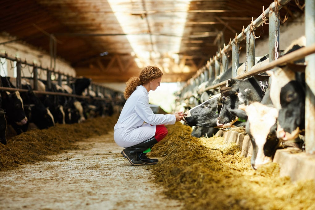 Photo of female veterinarian with dairy cattle.