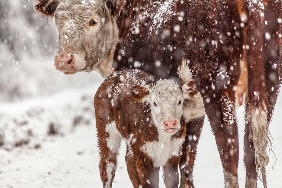 Photo of cow and calf in the snow representative of preparing your livestock for winter