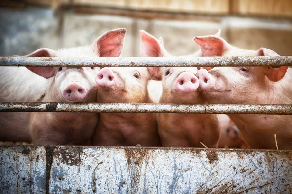 Photo of pigs waiting to be fed.