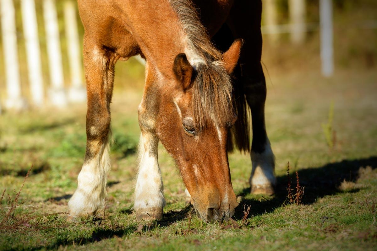Photo of senior horse grazing representative of care