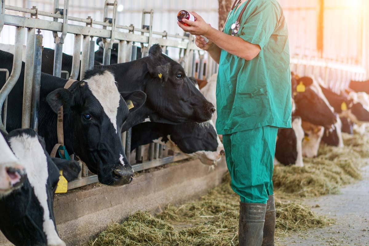 Photo of vet reading shot for milk cattle representative of adjuvants in livestock vaccines