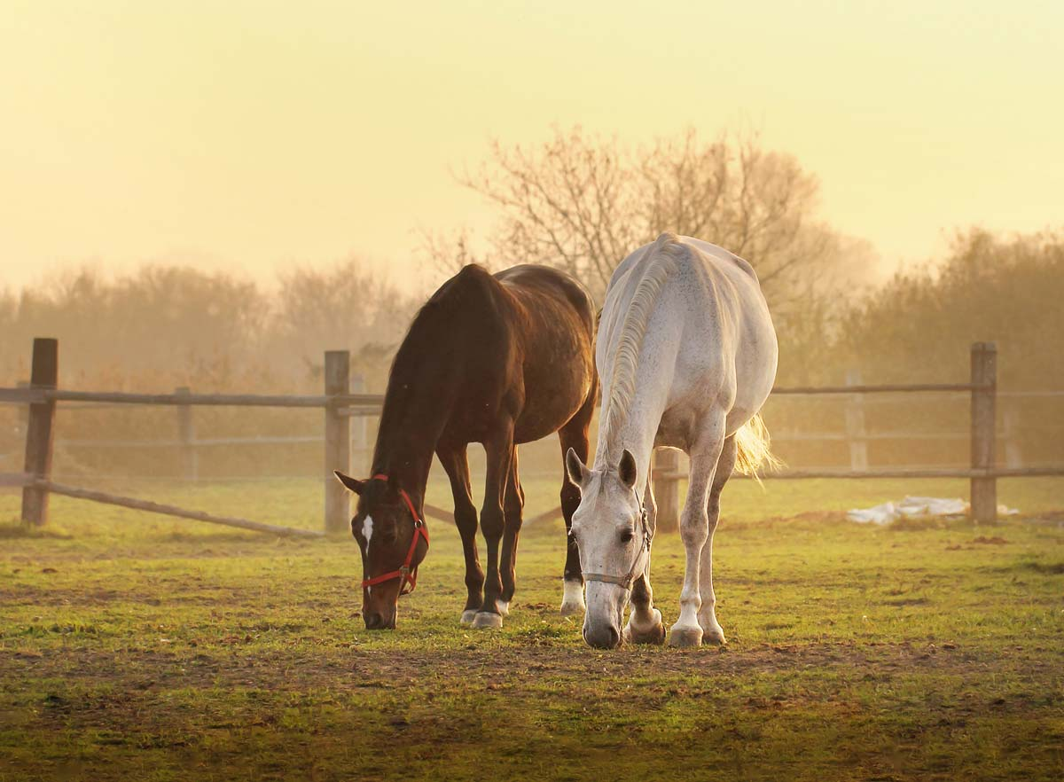 Photo of two horses grazing representative of equine joint supplements
