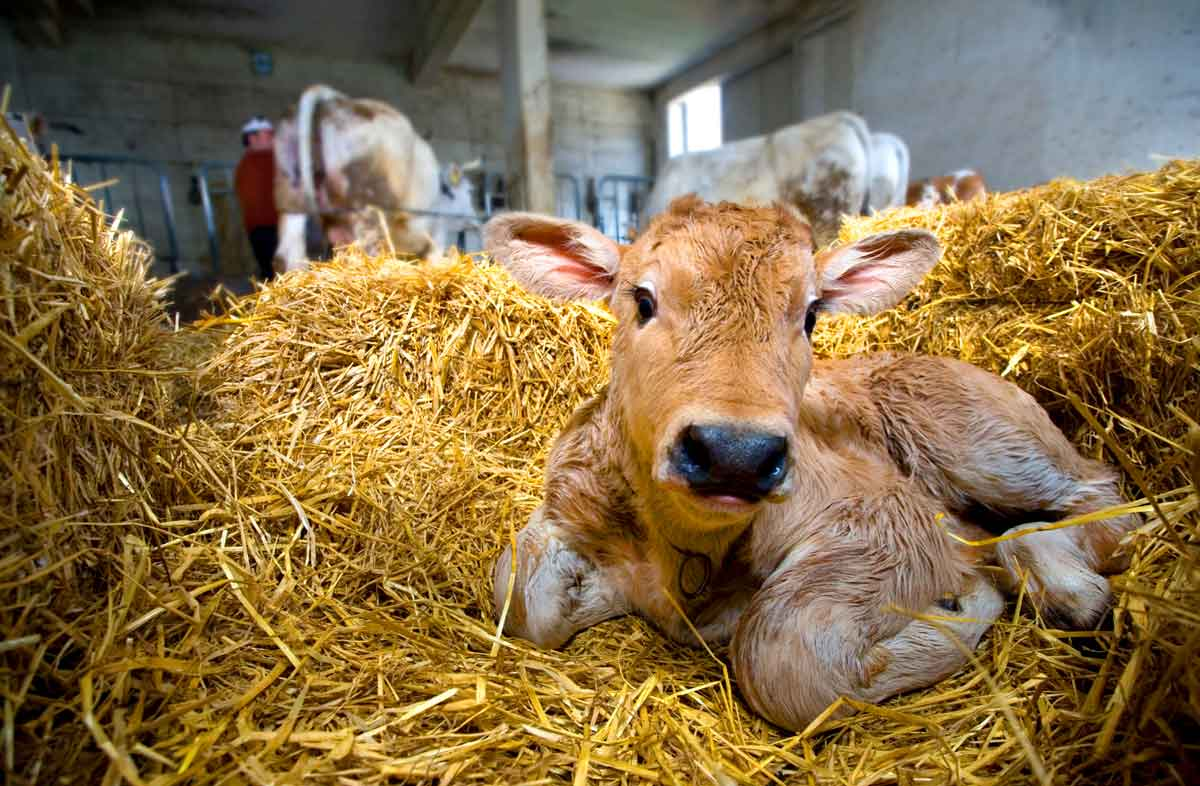 Photo of calf laying in hay representative of Intranasal Cattle Vaccines.