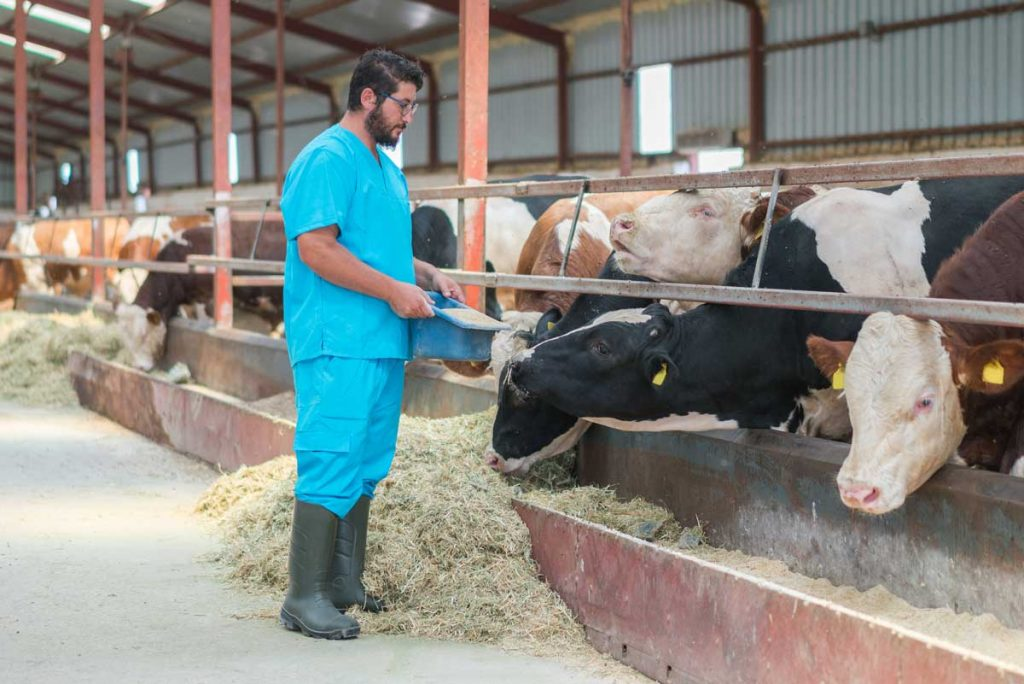 Photo of vet feeding dairy cattle representative of Clostridial Disease feed additives.