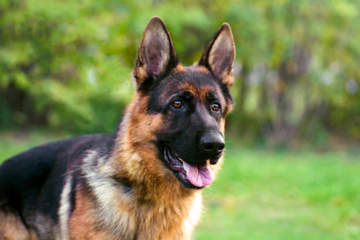 Photo of German Sheppard representative of dogs with coronavirus.
