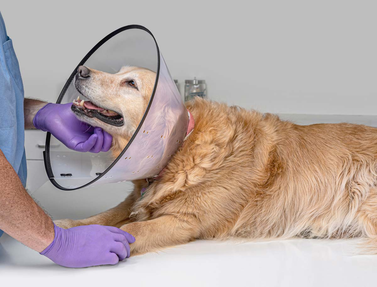 Photo of dog wearing a cone, representative of allergic skin disease in animals.