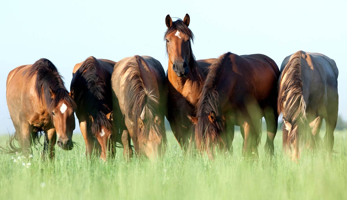 A photo of five horses grazing, representative of equine skin lesions.