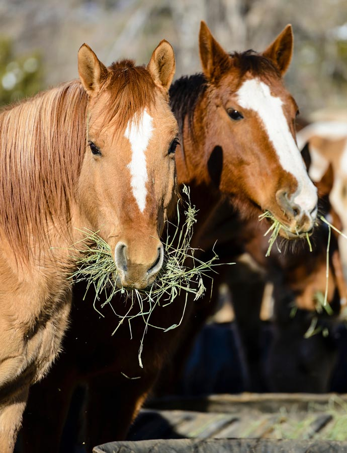 Photo of horses eating hay representative of horse nutrition.
