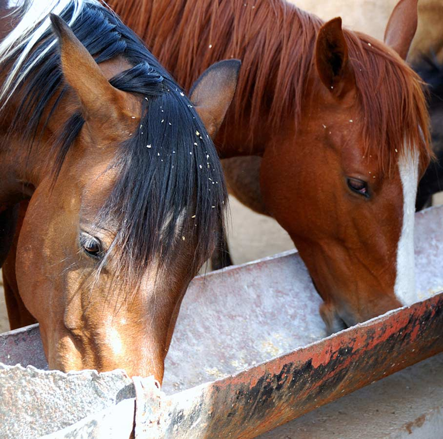 Photo of horses eating from a trough representative of horse nutrition.