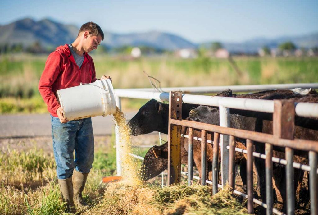 Young man feeding cattle representative of cattle management data-driven feed decisions.