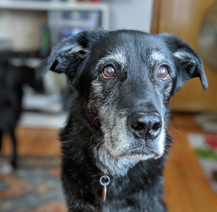 Photo of senior black dog representative of preventative osteoarthritis care.