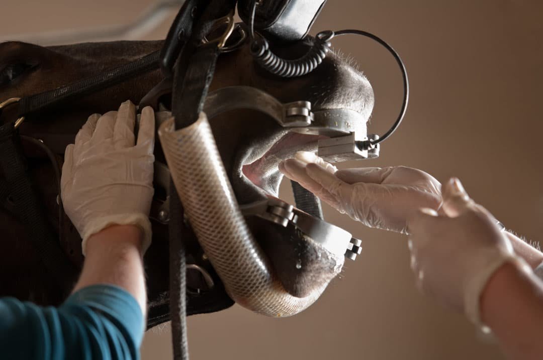 Photo of horse's mouth being held open with a device to allow equine dental care.