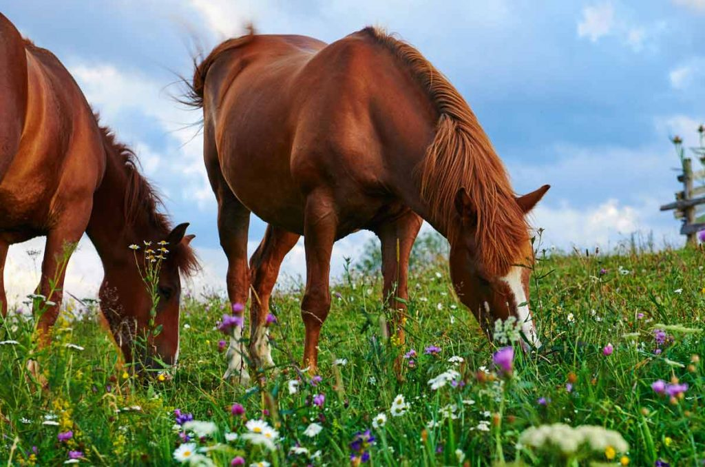 Photo of horses in a field with flowers representative of equine asthma.