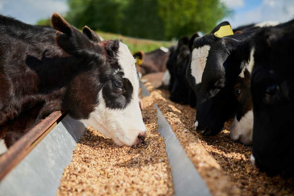 Photo of dairy cows eating feed representative of virtual dairy farm brain decision making tool.