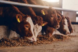 Feeding cattle representative of Topical Cattle Parasite Control.