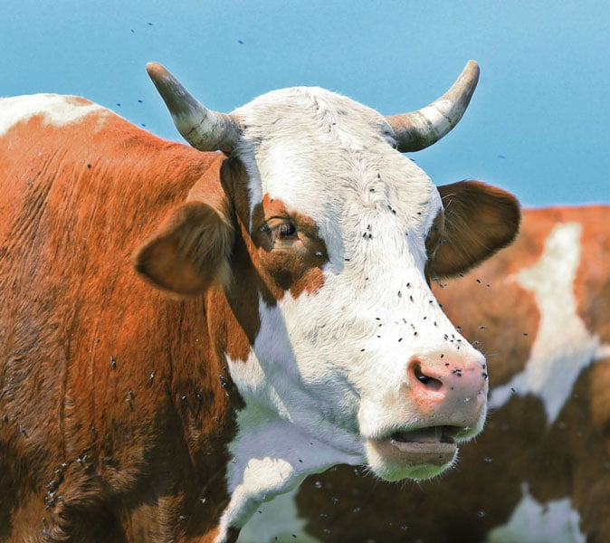 Photo of cow with flies on face representative of Topical Cattle Parasite Control.