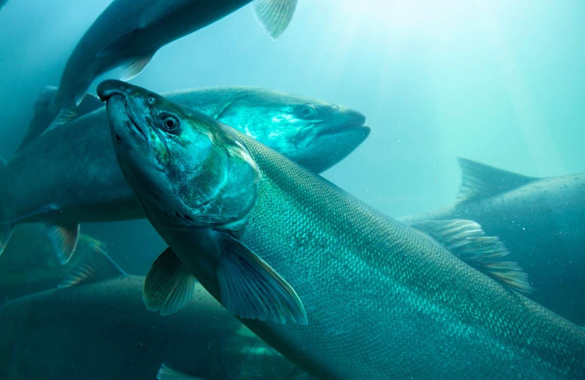 Photo of farm raised fish representative of aquaculture.