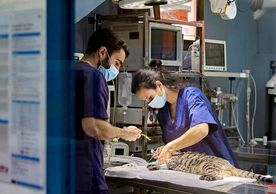 Photo of vet and veterinary nurse performing procedure on a cat representative of boosting feline clinic visits.