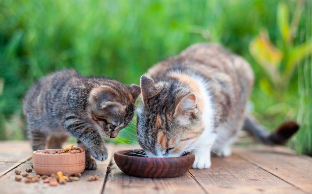 Photo of kitten and adult cat eating kibbles.