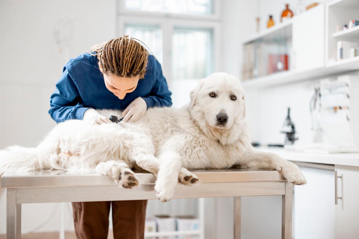 Photo of vet checking a dog's skin representative of pet dermatology.