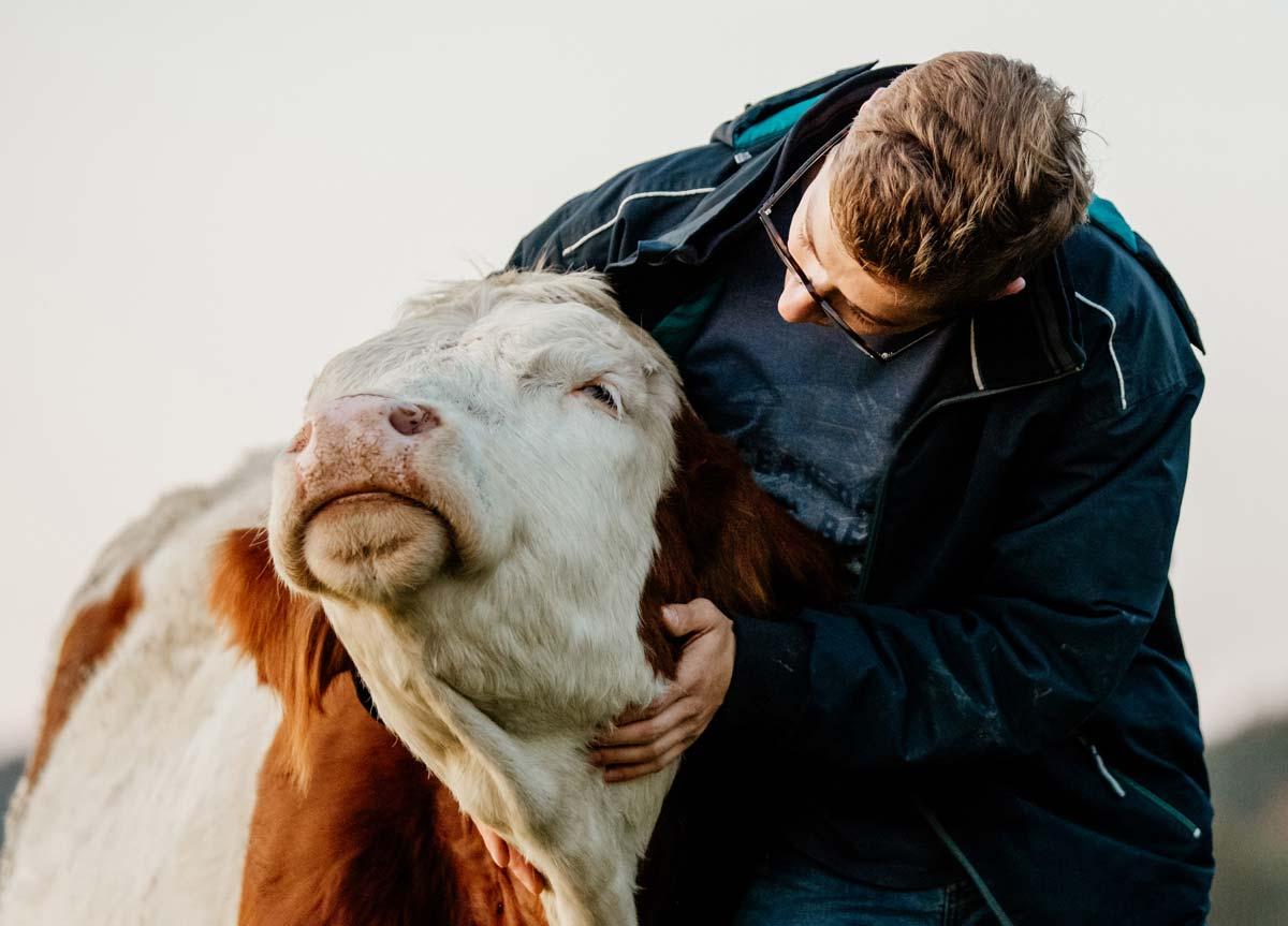 Photo of vet examining a cow for bovine respiratory disease.