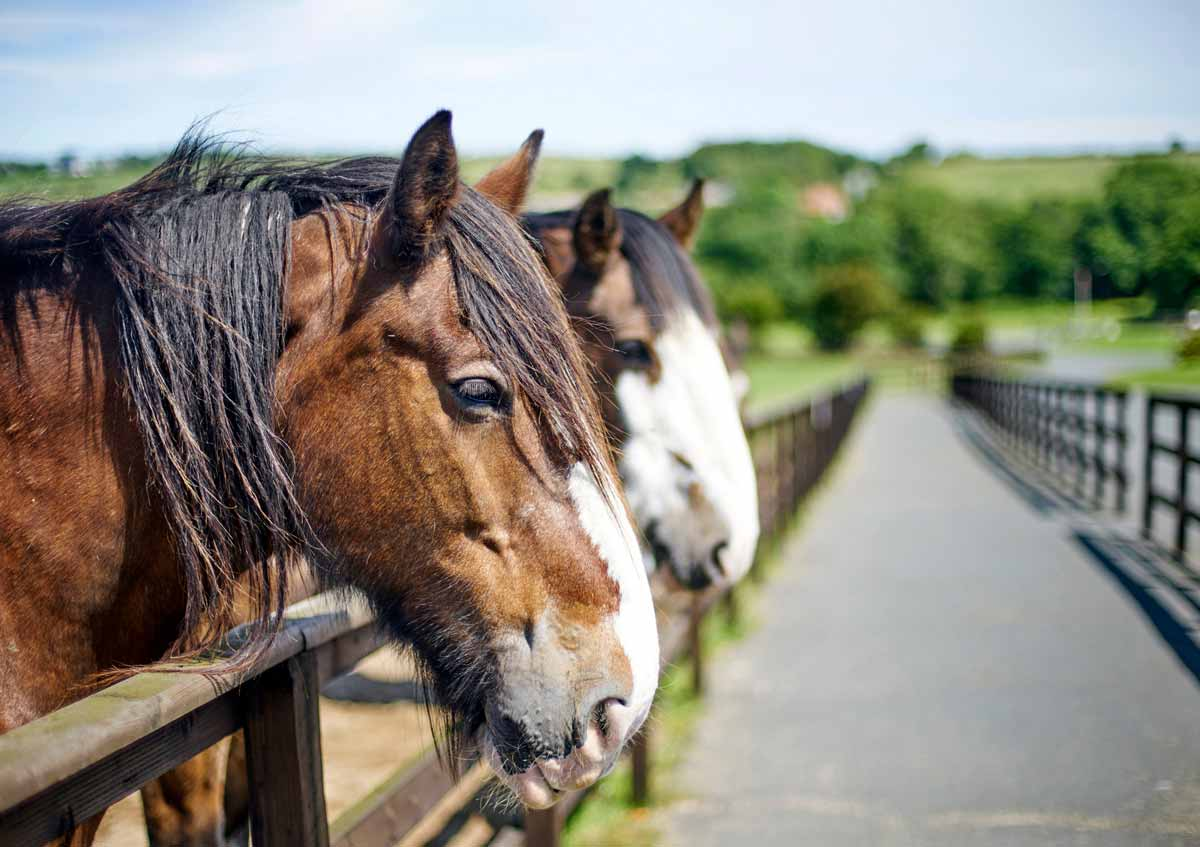 Photo of two horses with heads over fence representative of equine pain management.